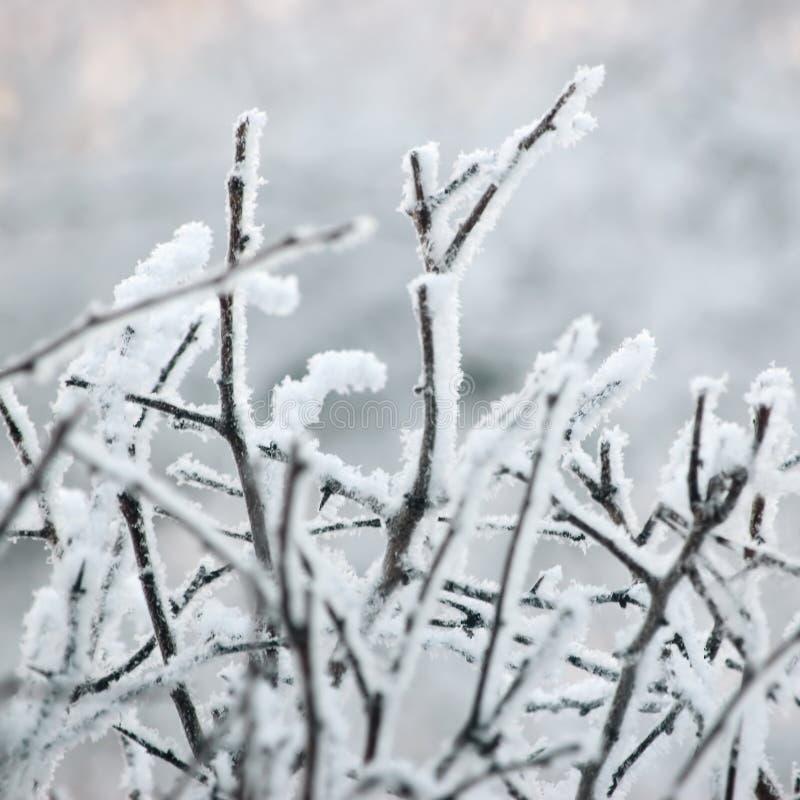 Ветви и хворостины дерева Snowy морозные, большой детальный крупный план макроса изморози, нежная деталь Bokeh, белый Frost и фон стоковое изображение rf