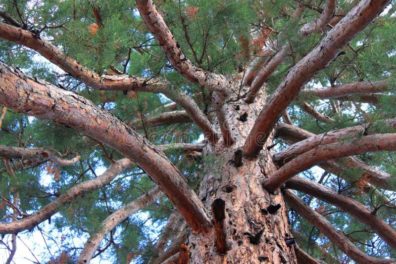 Ветви и хобот секвойи Gigantea стоковая фотография