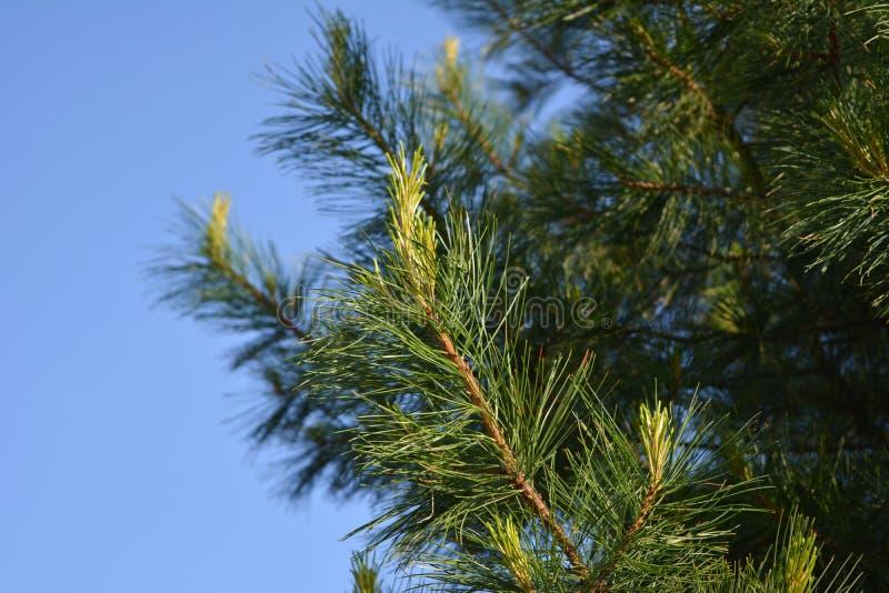 Ветви кедра с молодыми всходами против ясного голубого неба стоковые фото