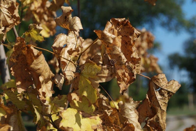 Ветви клена осени в солнечном свете стоковое изображение rf