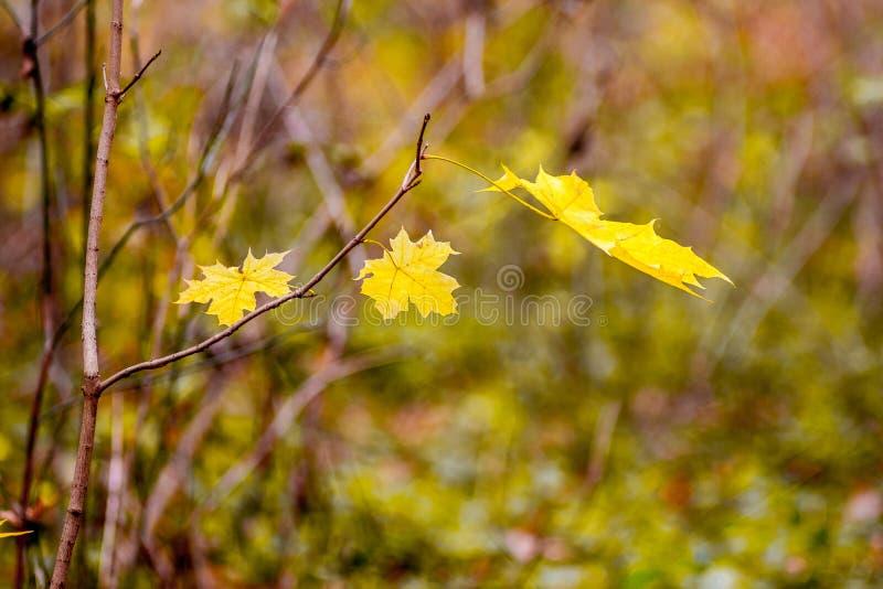 Ветви клена с желтыми листьями осени в лесе на запачканном background_ стоковое изображение