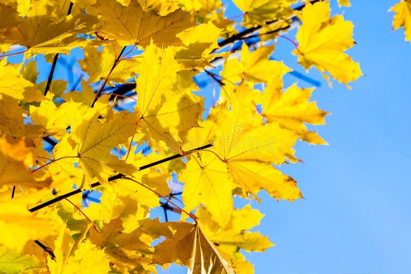 Ветви клена с желтыми листьями осени в лесе на фоне _голубого неба стоковое фото rf