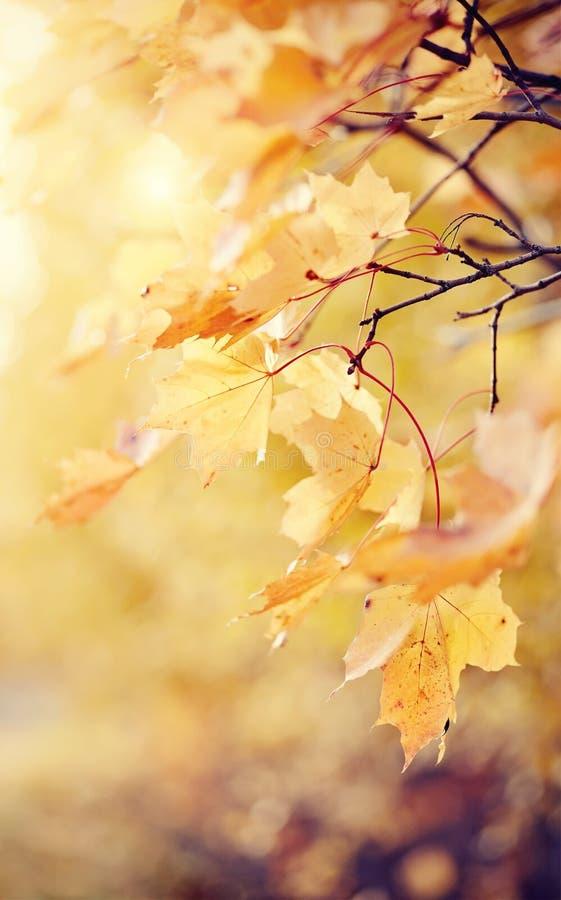 Ветви клена с листьями осени стоковое изображение rf