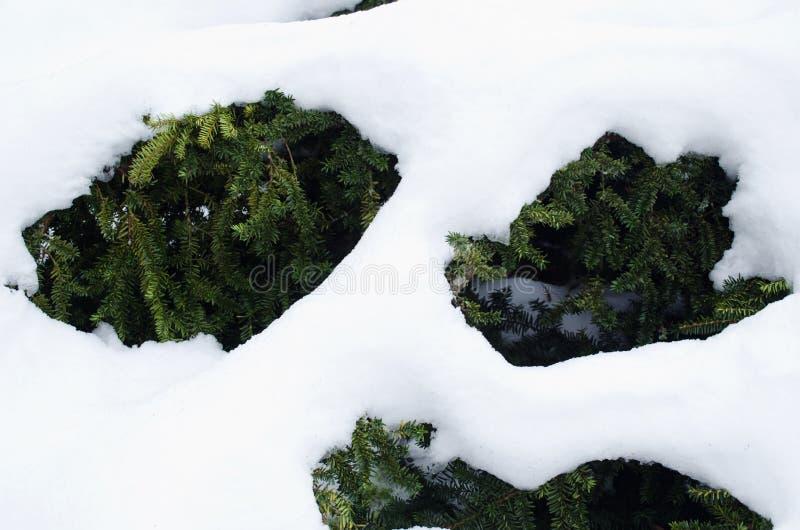 Ветви куста Yew вечнозеленые под зимой снежка стоковые фото