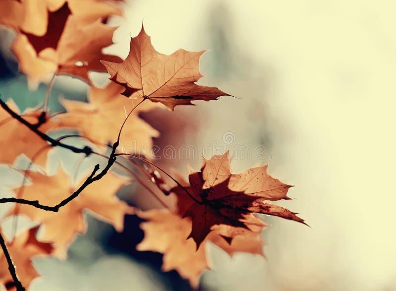 Ветви клена с листьями осени стоковое изображение