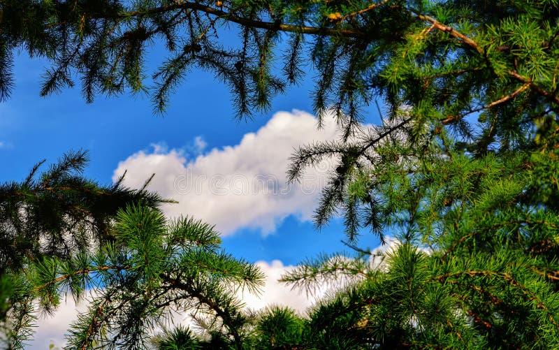 Ветви лиственницы на предпосылке голубого неба лета, сценарных или природы стоковые фото