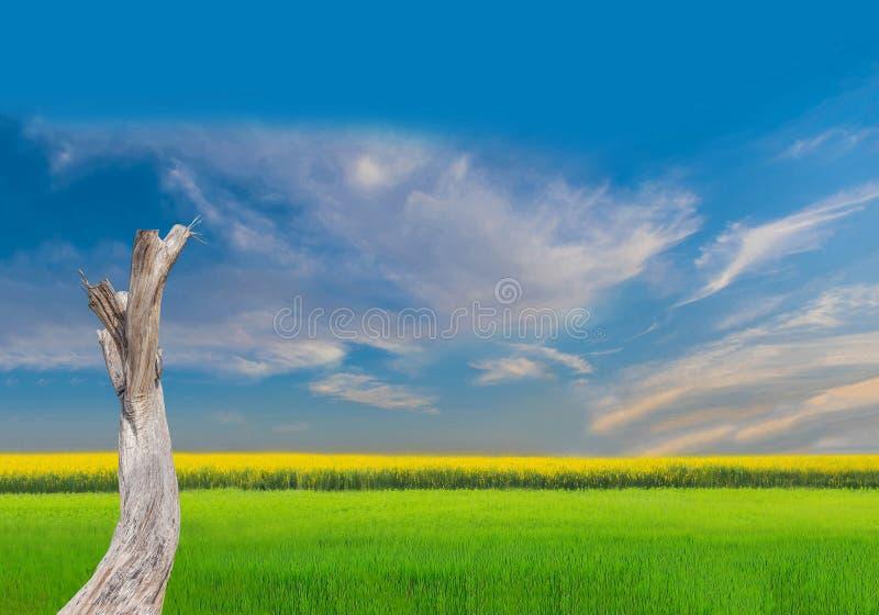 ветви мертвого дерева, зеленого поля неочищенных рисов, желтого поля завода с красивым небом и предпосылки облака стоковое изображение