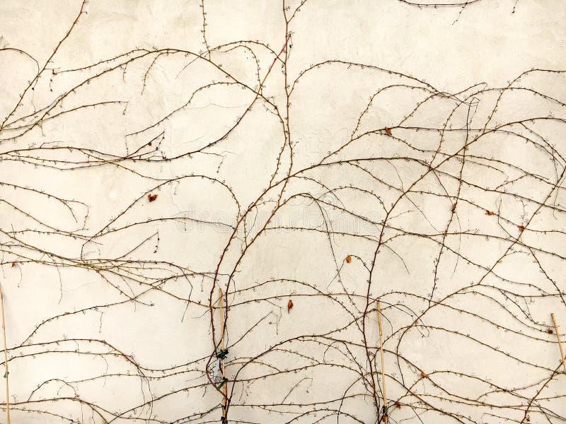 Ветви одичалых виноградин осени сплетенных на стене стоковое изображение rf