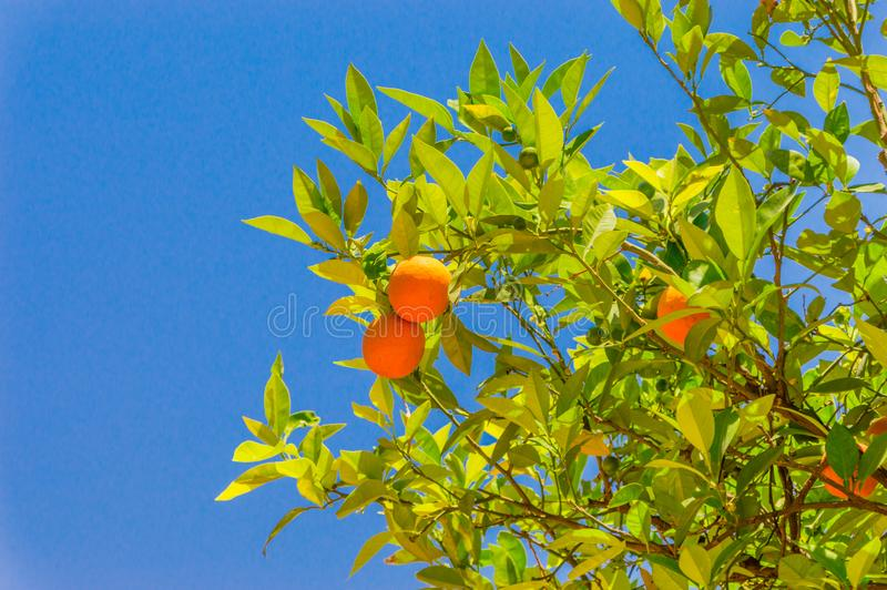 Ветви оранжевого дерева с плодоовощами стоковые изображения rf