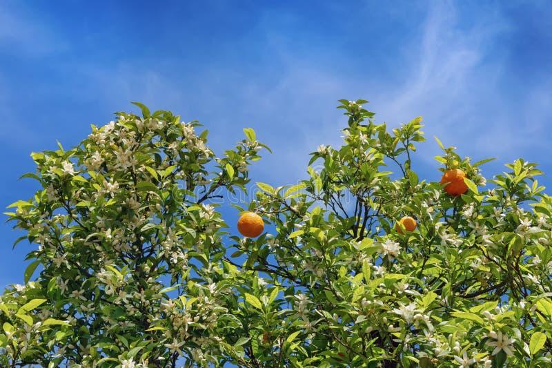 Ветви оранжевого дерева с цветками и плодоовощами стоковые изображения rf