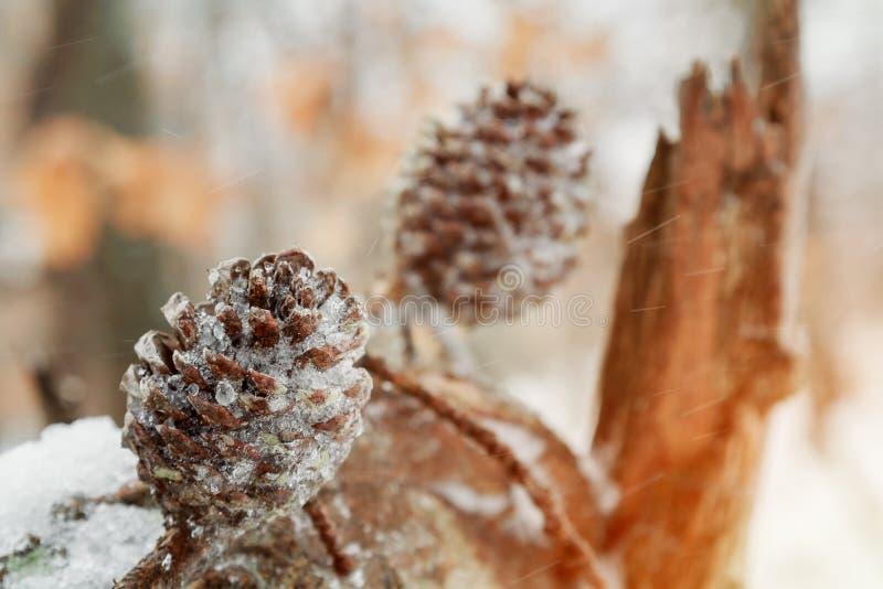 Ветви под крупным планом снега покрытые Снег зеленые ветви coniferous куста Предпосылка зимы с yew разветвляет под sno стоковое фото rf