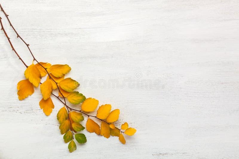 2 ветви предпосылки Vanhouttei желтого Spiraea листьев осени старой белой деревянной затрапезной стоковое изображение rf