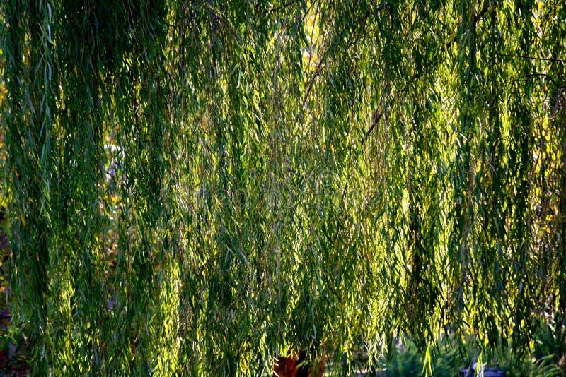 Ветви плача вербы стоковое фото