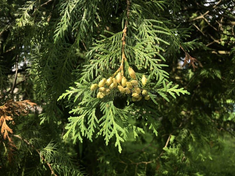 Ветви рождественской елки в парке города стоковое изображение rf