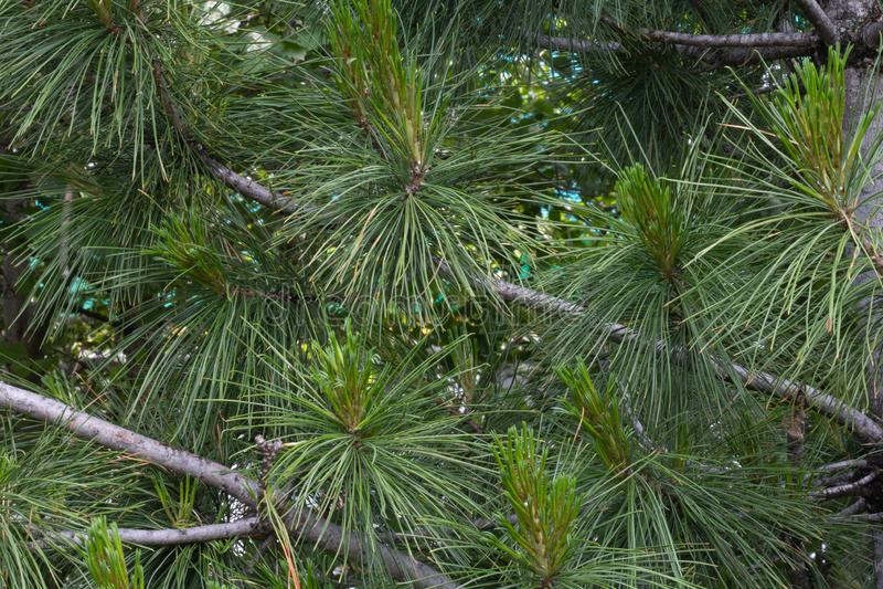 Ветви рождественской елки пушистый и красивы стоковое изображение