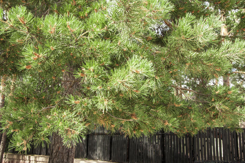 Ветви сосенки стоковые фото