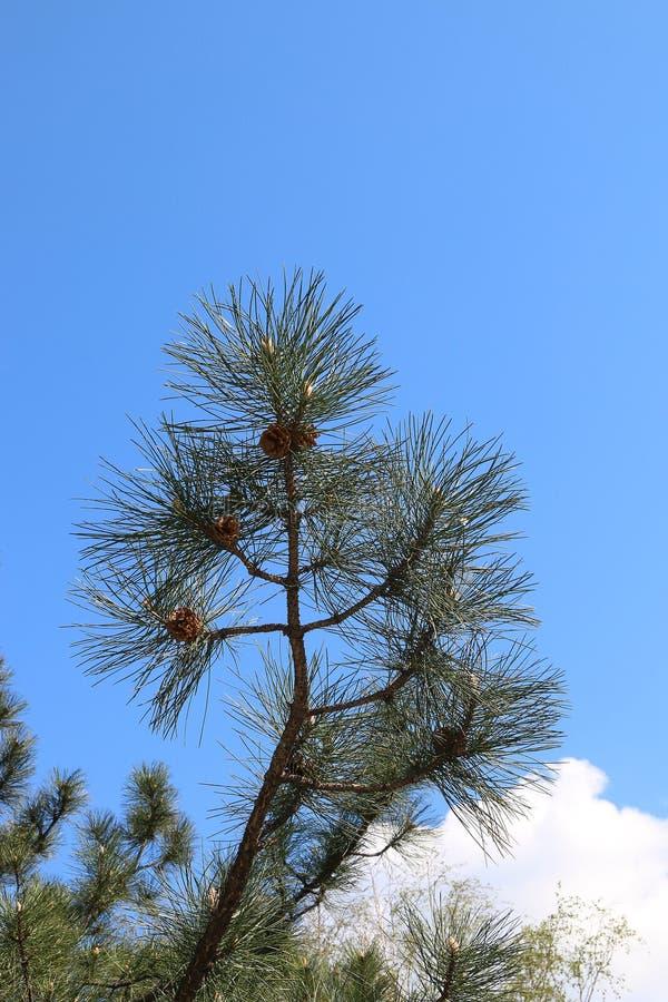 Ветви сосны и спруса стоковое фото rf