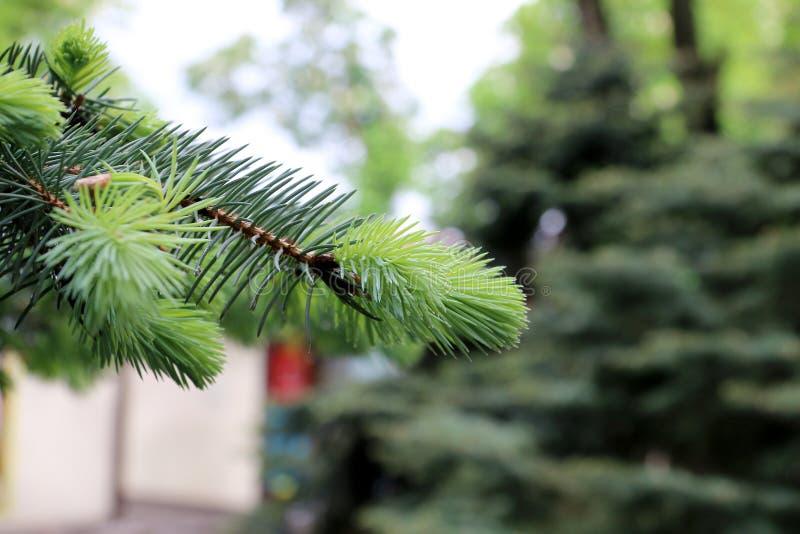 Ветви сосны и спруса стоковые изображения rf