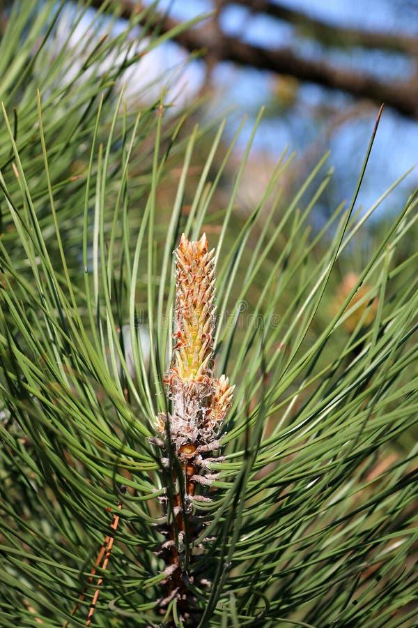 Ветви сосны и спруса стоковое фото