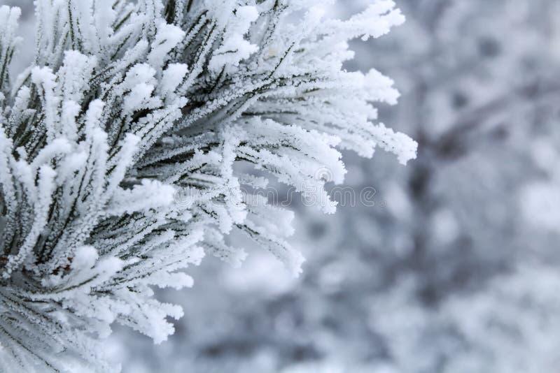 Ветви сосны при иглы предусматриванные заморозком стоковое фото rf