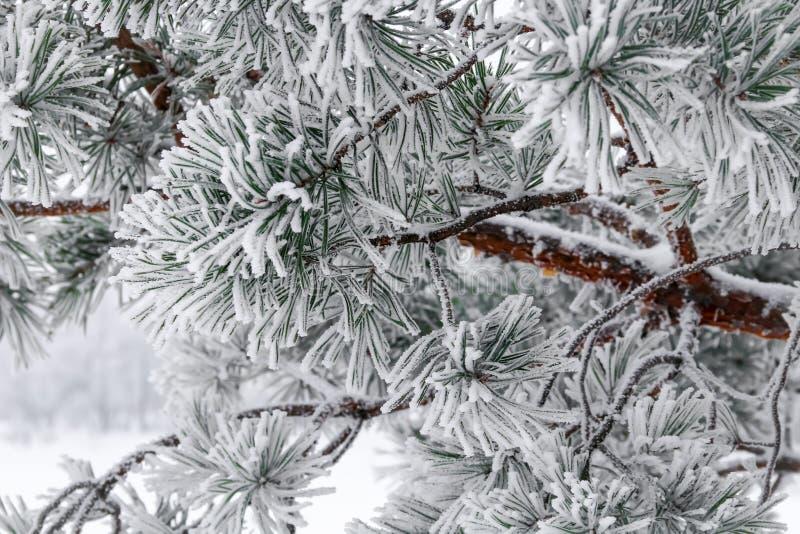 Ветви сосны при иглы предусматриванные заморозком стоковые изображения