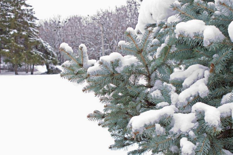 Ветви спруса сини покрытые снегом после вьюги стоковое изображение rf