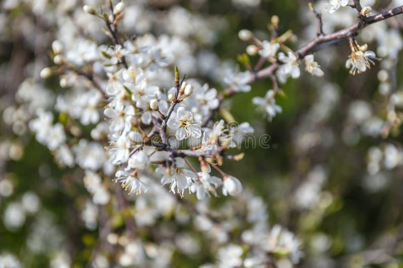 Ветви с белыми цветками стоковое фото rf