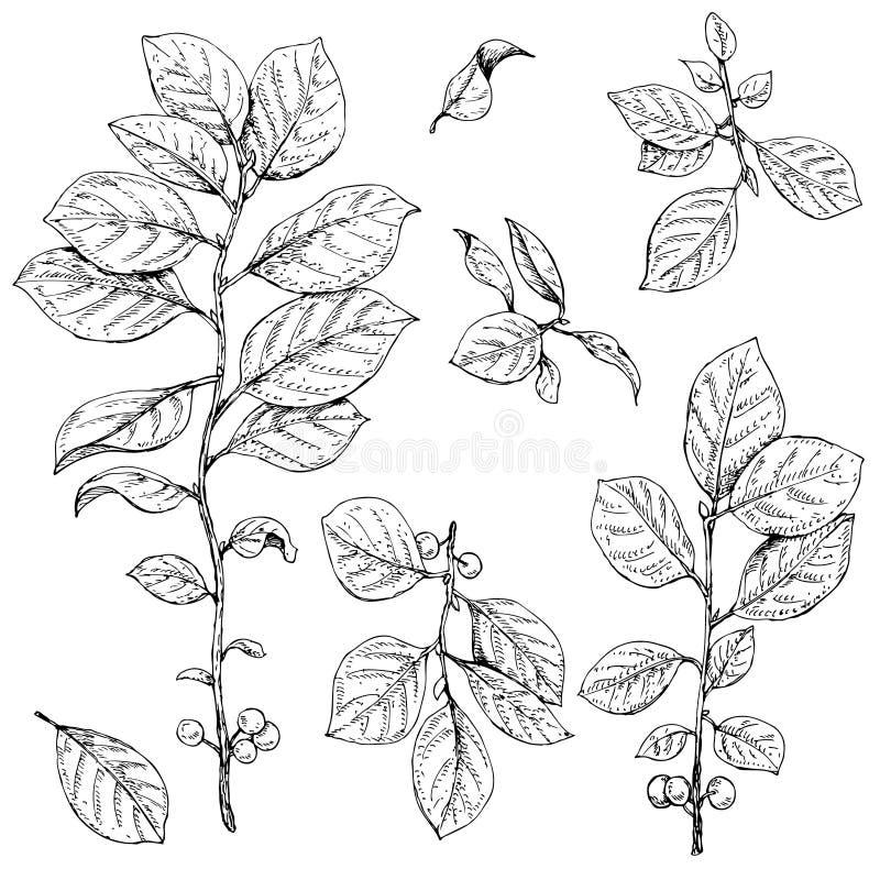 Ветви с комплектом листьев и ягод