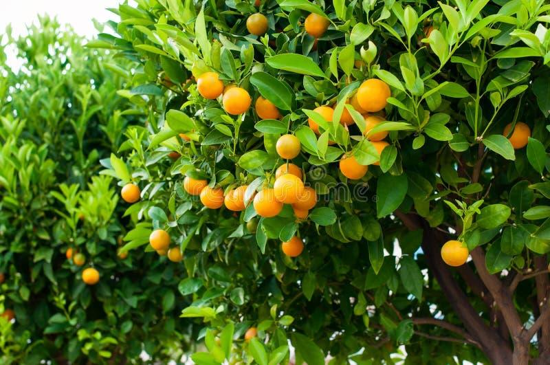 Ветви с плодоовощами валов tangerine стоковые фото