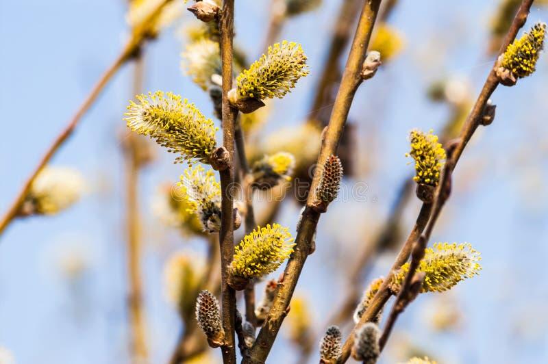 Ветви с уволенными почками весной стоковые фото