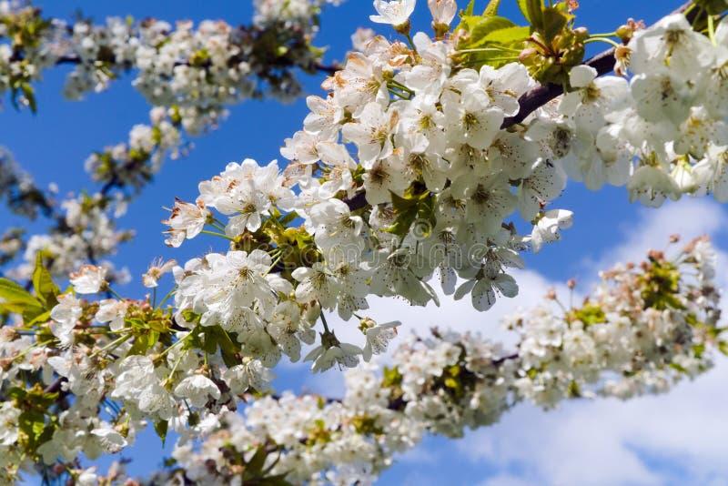 Ветви с цветками вишни на предпосылке неба стоковое фото rf