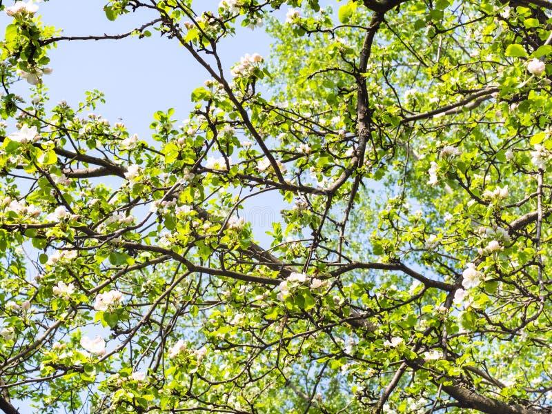 Ветви фруктовых деревьев с цветениями в саде стоковые изображения