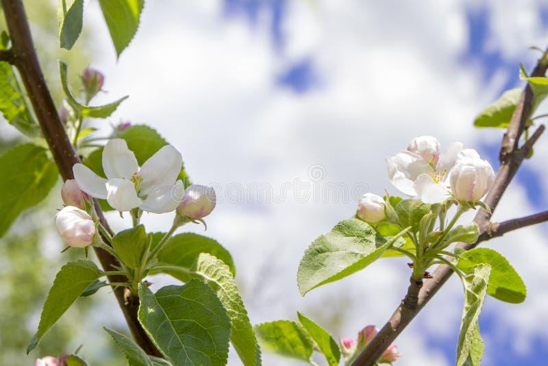 Ветви цвести яблони против предпосылки голубого неба и белых облаков, розовых цветков Сакуры на светлом - голубые пастельные цвет стоковая фотография