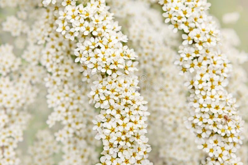 Ветви цвести Spirea с много небольших белых цветков стоковое изображение