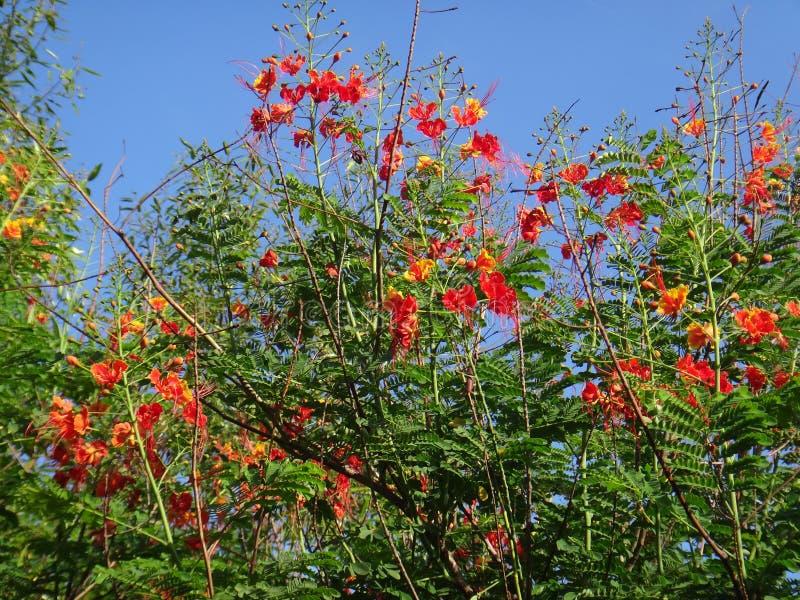 Ветви цветка павлина стоковая фотография