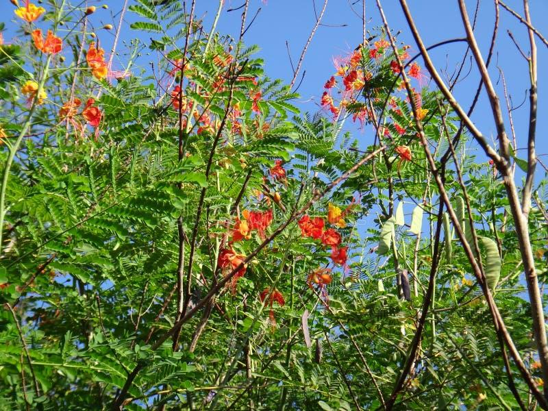 Ветви цветка павлина стоковые фотографии rf