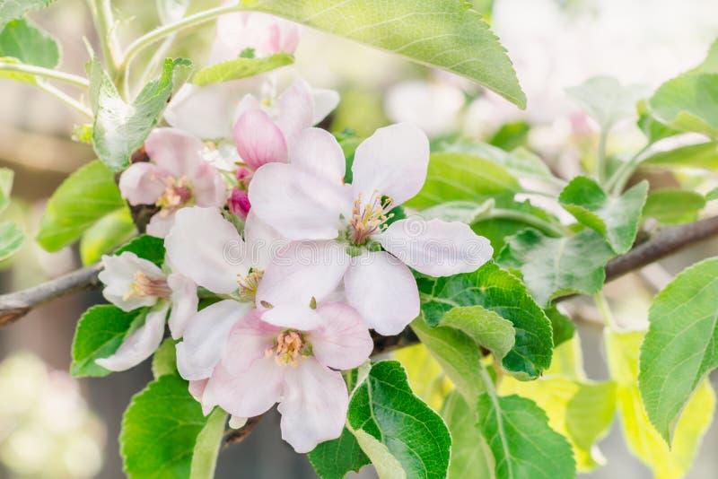 Ветви яблони с розовыми цветками в цветя саде на день весны солнечный стоковые фотографии rf