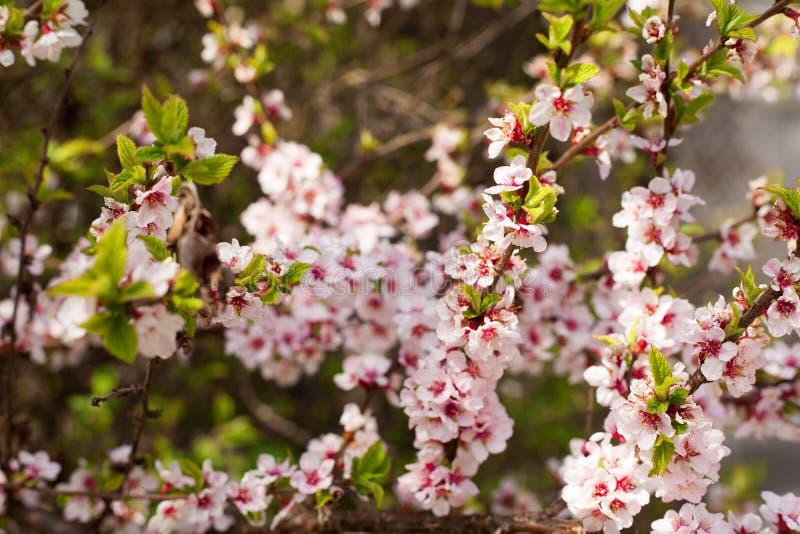 ветви яблока цветя валы стоковое фото