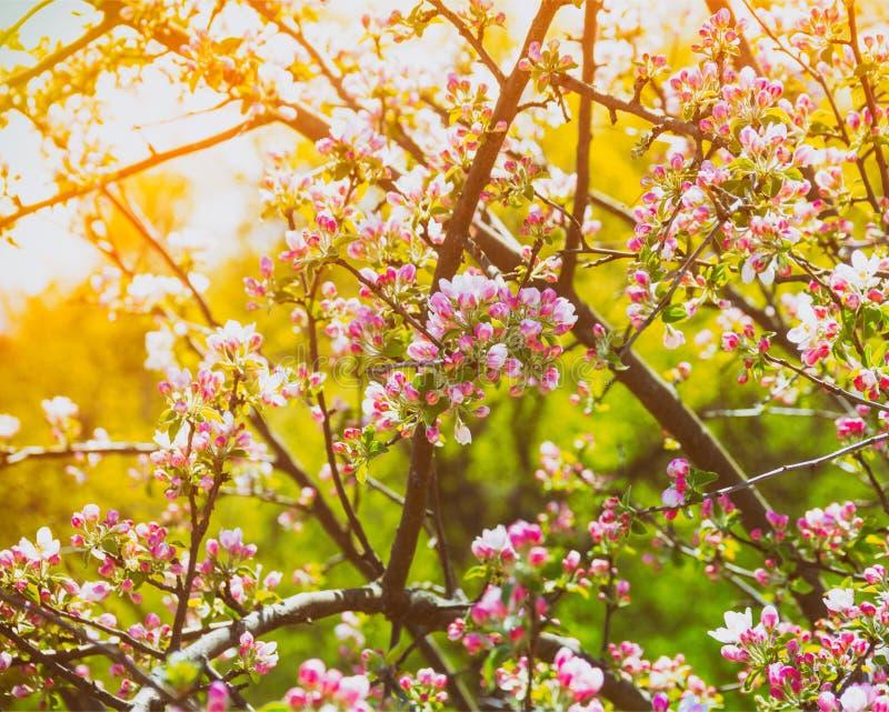 Ветви blossoming яблони в золотых лучах солнца стоковое изображение