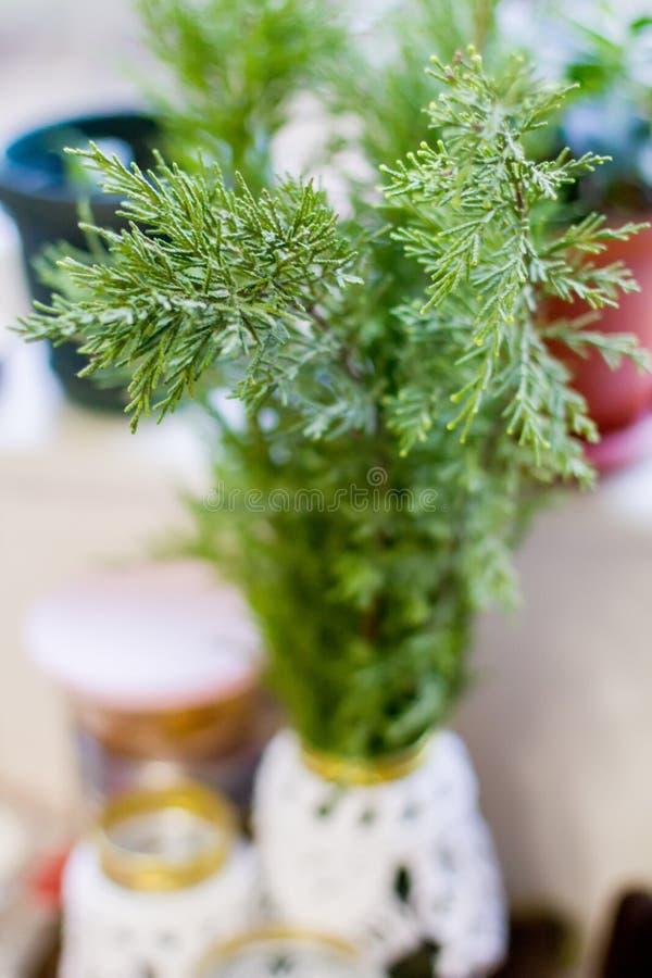 Ветви Evergreen Thuja стоковая фотография rf