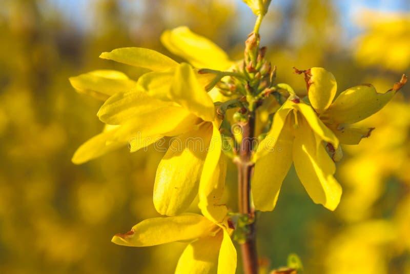 Ветви forsythia красивого желтого цвета blossoming на весеннем времени стоковое изображение
