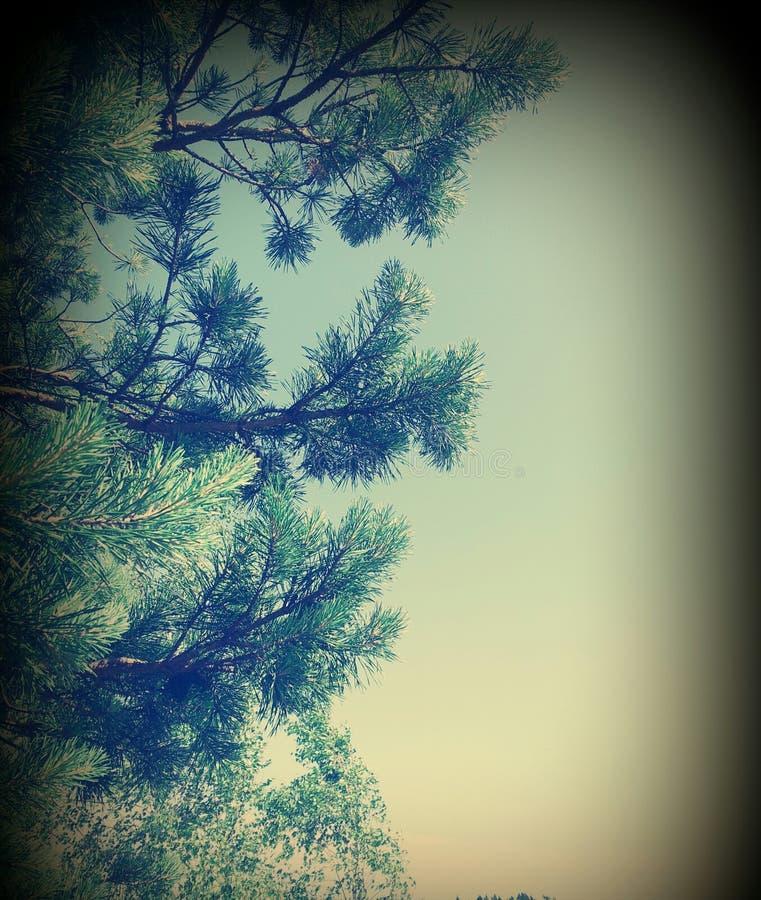 ветви spruce стоковое фото