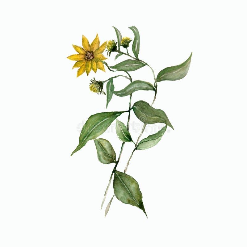 Ветвь акварели желтого heliopsis с зелеными листьями изолированные цветки Абстрактная флористическая предпосылка Винтажное ботани иллюстрация вектора