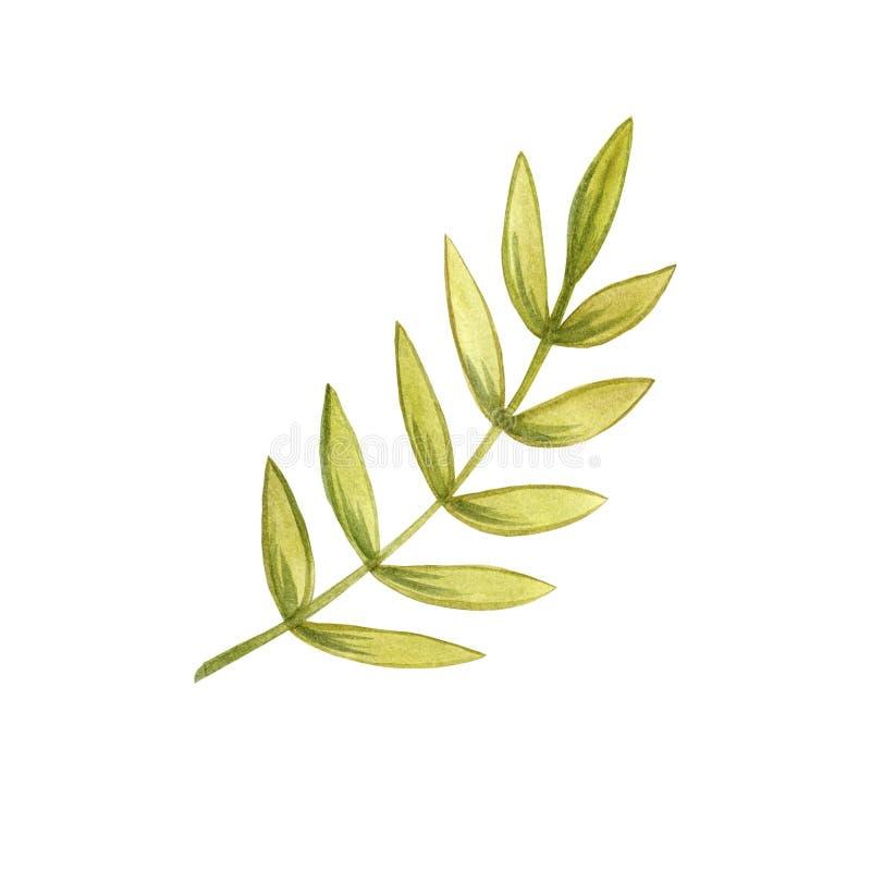 Ветвь акварели покрашенная рукой с салатовыми листьями цвета бесплатная иллюстрация