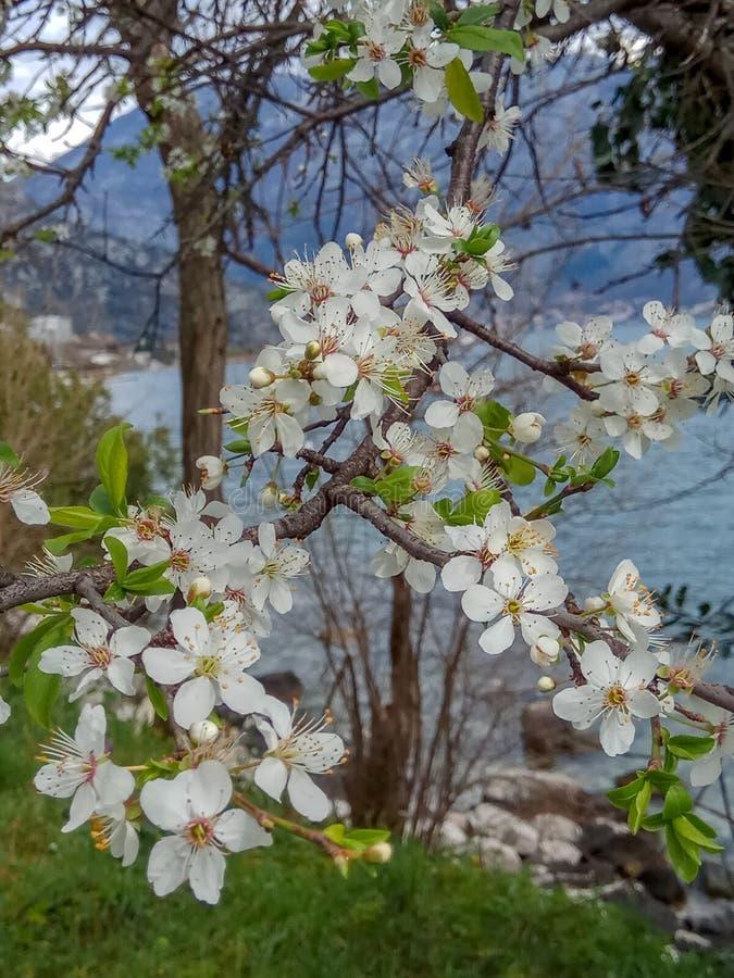 Ветвь белого цветка цветения во время весеннего времени около моря стоковые изображения rf