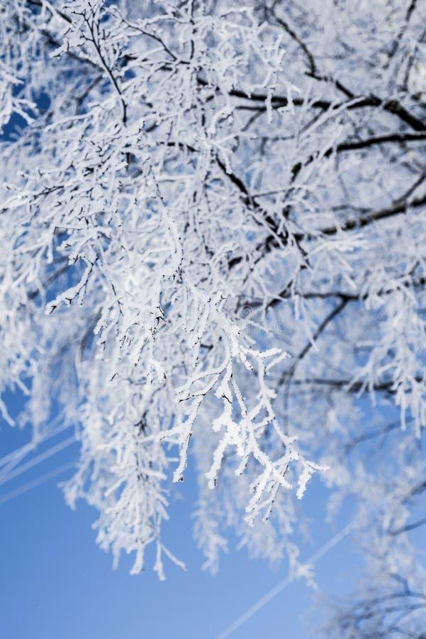 Ветвь березы в заморозке стоковые фото
