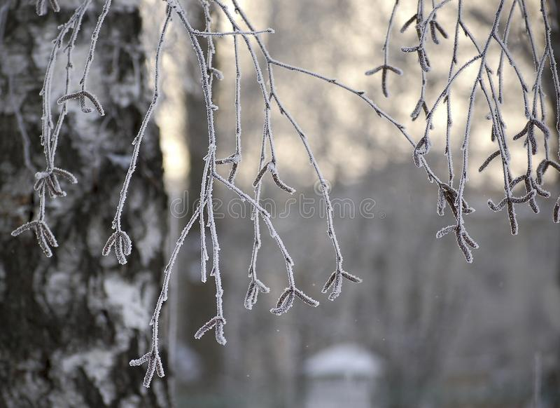 Ветвь березы при бутоны, предусматриванные с заморозком на предпосылке  стоковое изображение