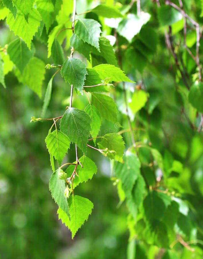 Ветвь березы стоковое фото rf