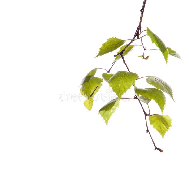 Ветвь березы стоковые изображения rf