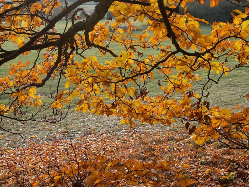 Ветвь бука с золотыми листьями осени стоковые фотографии rf